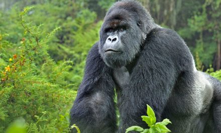 4-Day Gorilla Adventure Trek