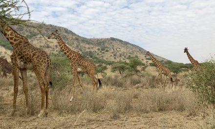 5 Days Safari To Ngorongoro – Lake Manyara And Kilimanjaro.