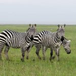 8 Day Adventure in Serengeti-Ngorongoro